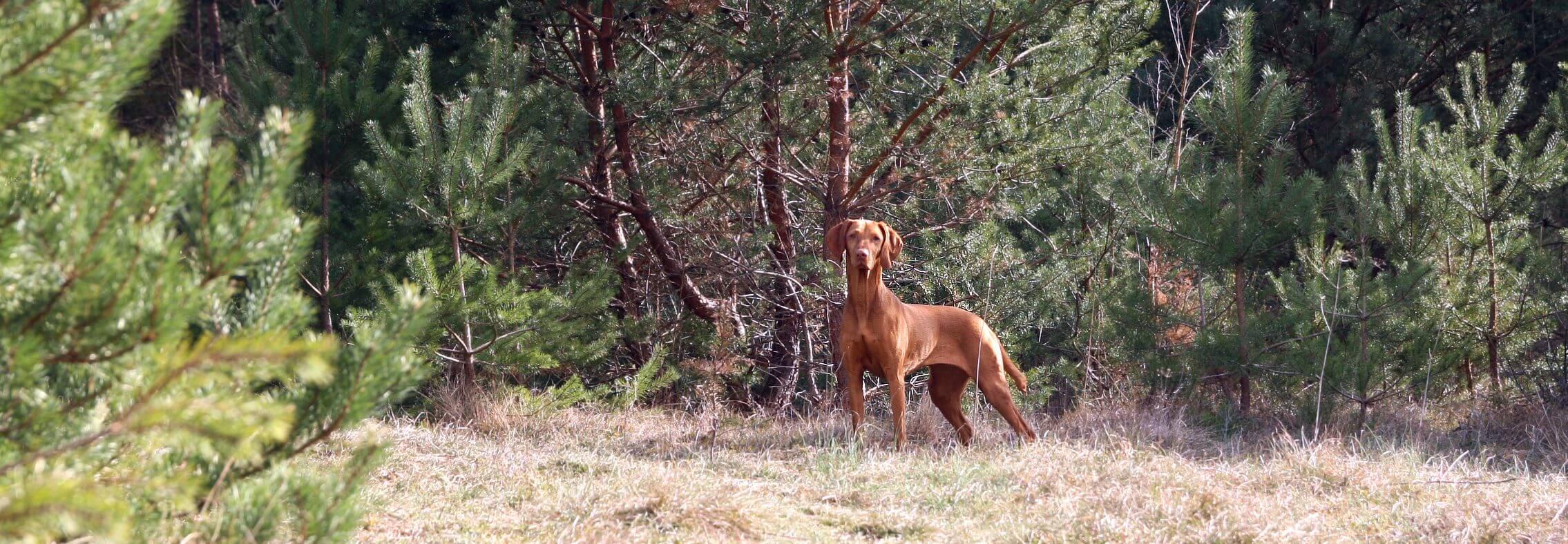 Der aufmerksame Hund
